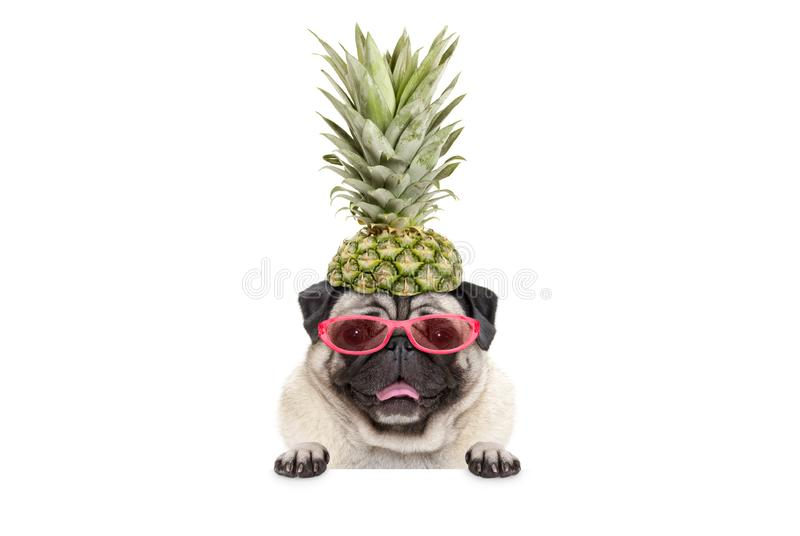 Portrait of cute funny frolic summer pug puppy dog with sunglasses and pineapple hat, hanging with paws on blank white banner stock photo