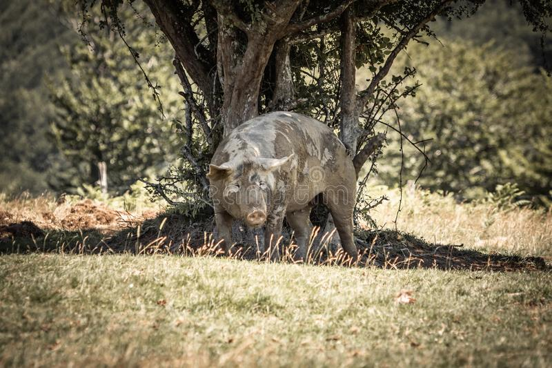 Portrait of cute funny muddy pig rubbing himself against the tree.  royalty free stock photography