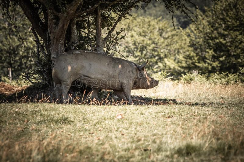 Portrait of cute funny muddy pig rubbing himself against the tree.  stock photography