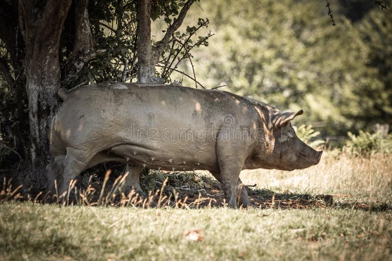 Portrait of cute funny muddy pig rubbing himself against the tree.  stock images