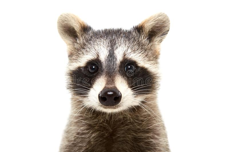 Portrait of a cute funny raccoon royalty free stock image