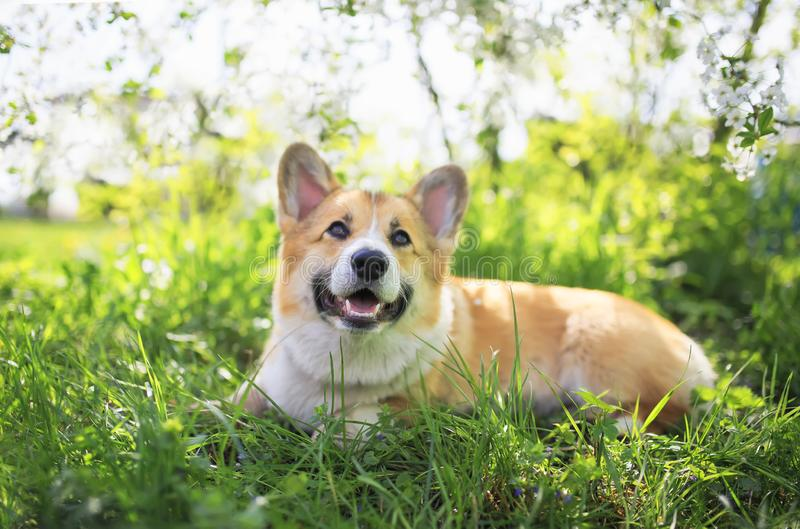 Portrait of cute funny red dog Corgi puppy sitting on background of flowering shrubs in spring clear may garden stock image