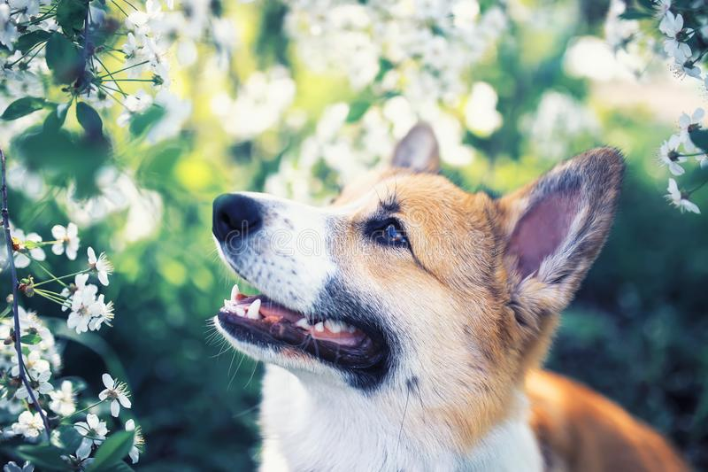 Portrait of cute funny red dog puppy Corgi sitting on natural background of flowering shrubs in spring  may garden and looking up. Dog puppy Corgi sitting on stock photography