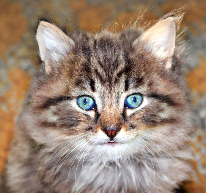 Portrait of cute furry kitten royalty free stock image
