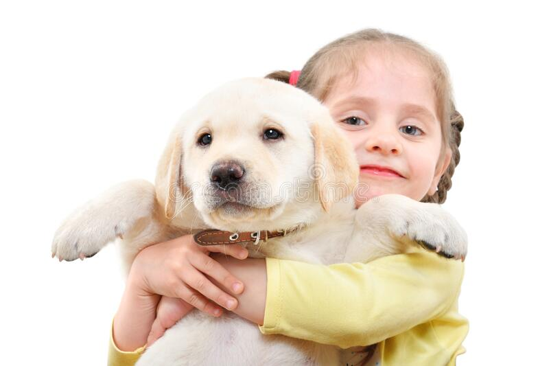 Portrait of a cute girl holding a Labrador puppy stock image