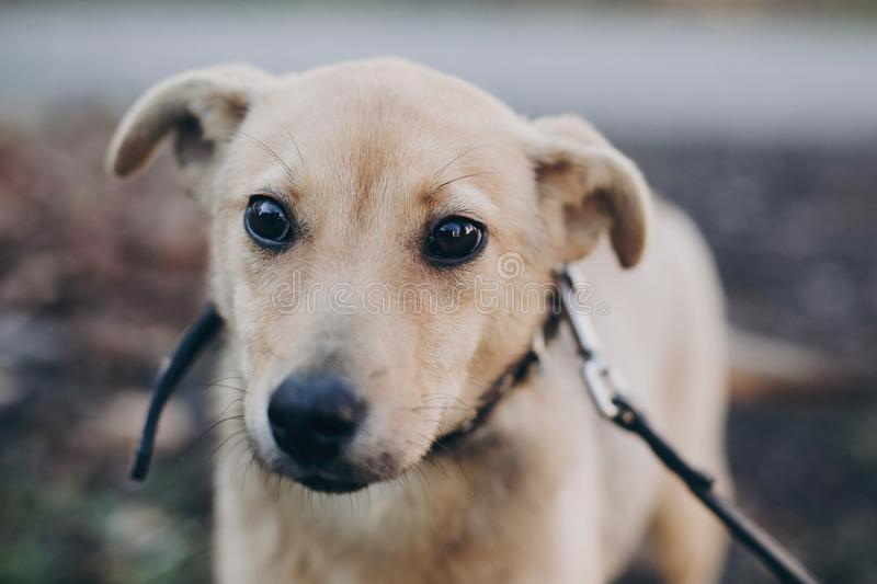 Portrait of cute golden puppy with sad black eyes and emotions in park. Dog shelter. Scared homeless doggy walking in city street stock photography