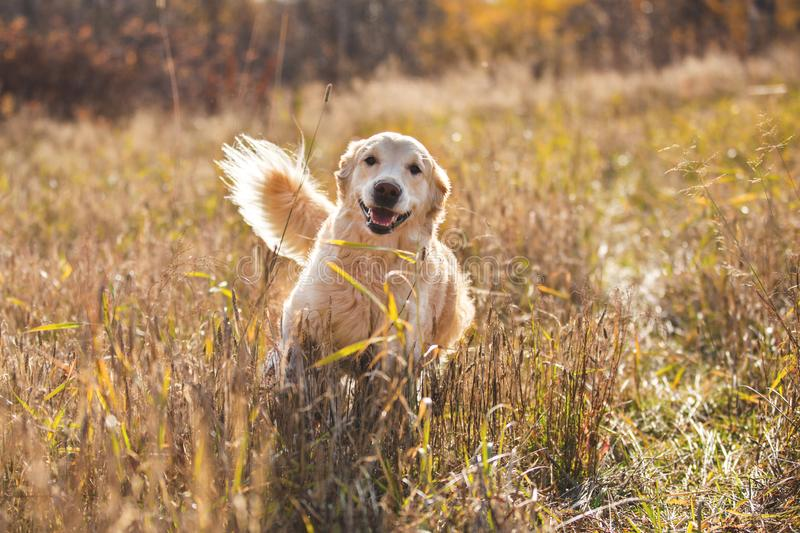 Portrait of happy and funny dog breed golden retriever running in the rye field in autumn. Portrait of cute and happy dog breed golden retriever running in the stock image