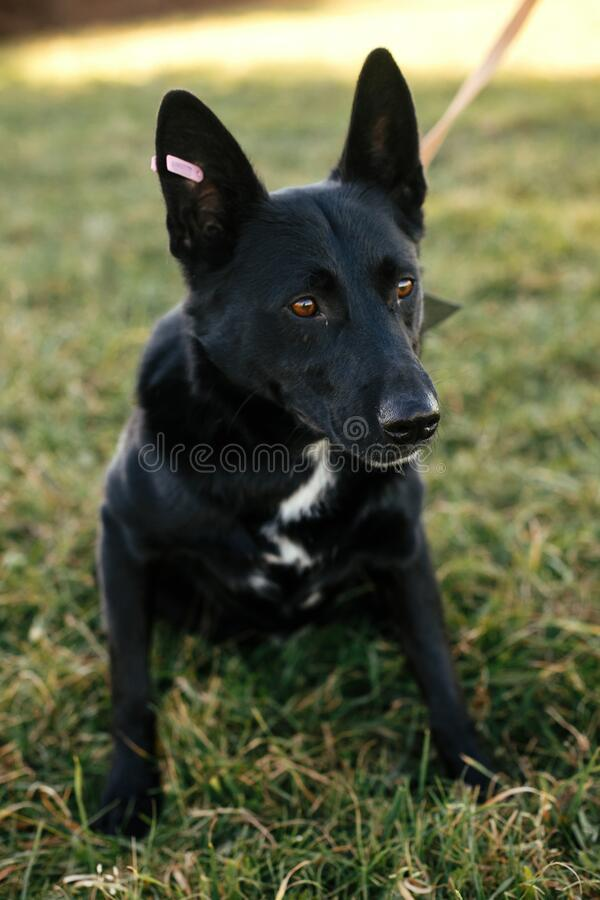 Portrait of cute happy dog sitting near with volunteer in green park. Adoption from shelter concept. Mixed breed black dog. Sweet royalty free stock image