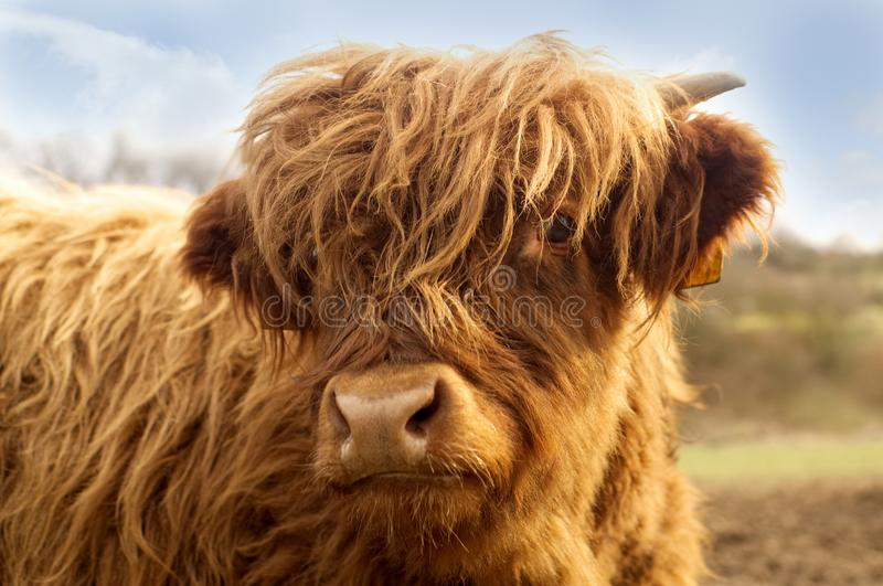 Portrait of a cute highland cattle. Portrait of a cute highland cattle with close up of damp nose and mouth stock photos