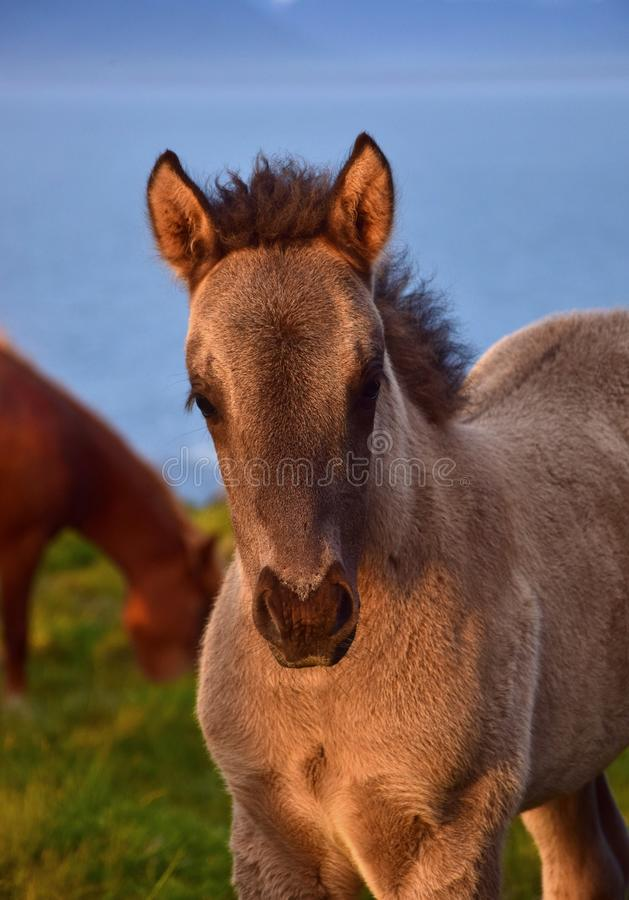 Portrait of a cute Icelandic dun foal in a midsummer night in Iceland. Portrait of a cute Icelandic dun foal in the midsummer sun in Iceland royalty free stock photos