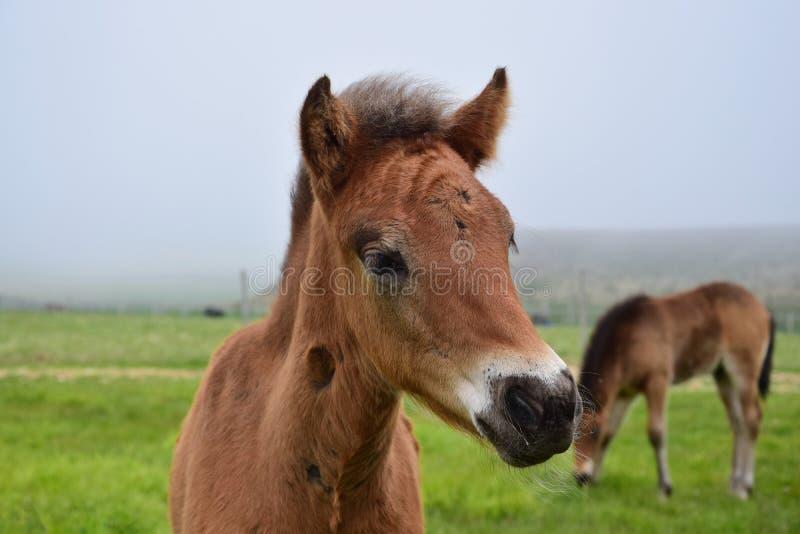Portrait of a cute Icelandic foal. Bay. Portrait of a cute Icelandic foal, bay stock photo