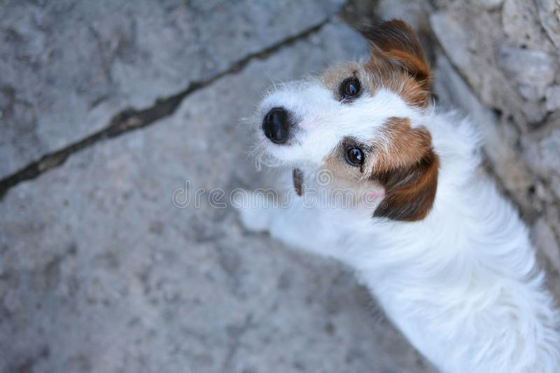 PORTRAIT CUTE JACK RUSSELL DOG, WALKING. HIGH ANGLE VIEW stock photo
