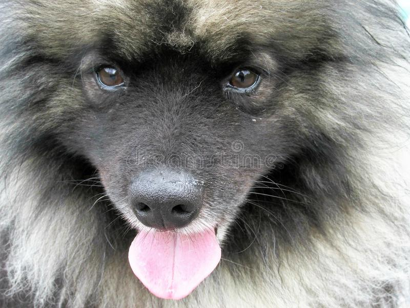 Portrait of a Cute Keeshond Dog stock photography