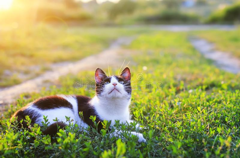 Portrait of a cute kitten lying in a Sunny green meadow on a warm summer evening funny raising her muzzle with a long mustache stock images