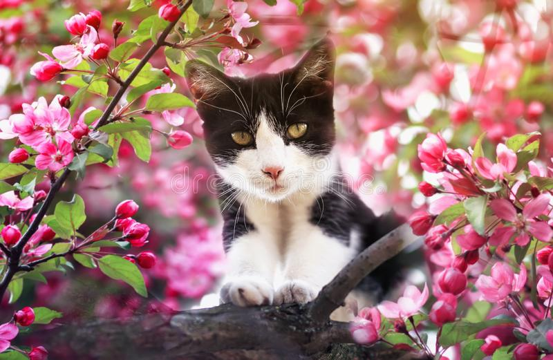 portrait of a kitten sitting on an Apple tree with pink flowers in a may warm garden royalty free stock photography