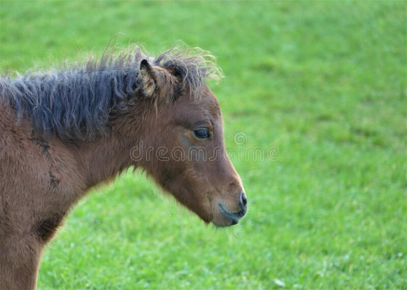 Portrait of cute little baby horse in the farm in nature. Portrait of cute little baby horse in nature royalty free stock photography