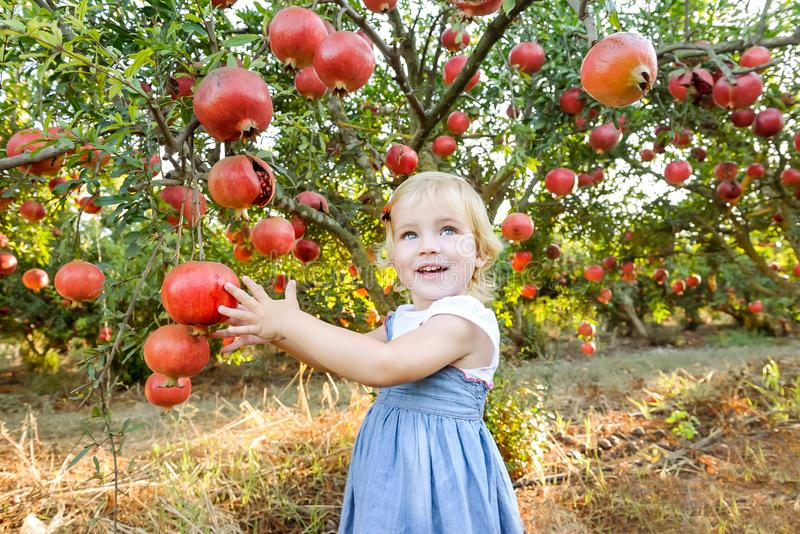 Portrait of cute little blondy baby girl looking at camera and picking ripe pomegrate fruits in the garden. Harvest and family tim. E concept. Sunset light. soft stock photo