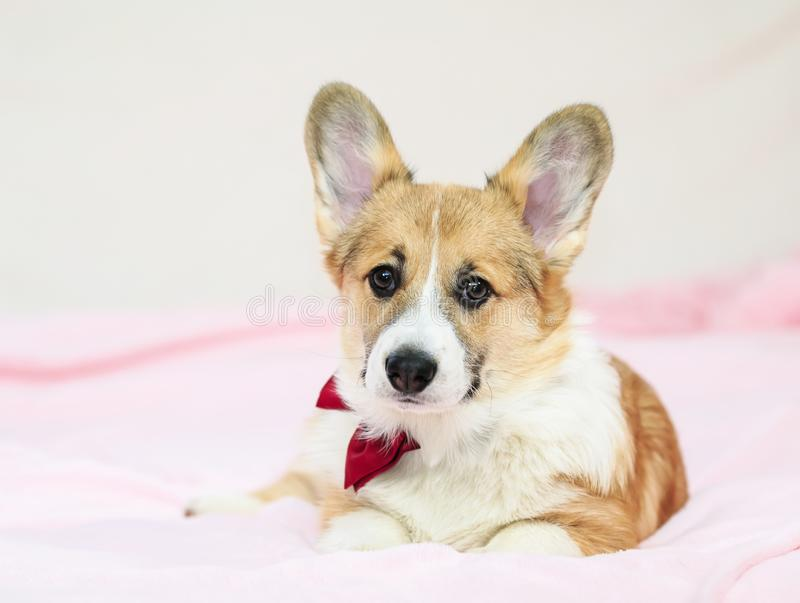 Portrait of a cute little Corgi pup in a festive red bow tie and gastuche lying on a fluffy pink blanket and looking forward stock photography