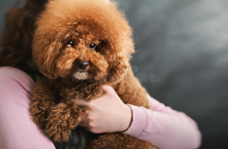 Toy poodle dog on gray studio background royalty free stock photos