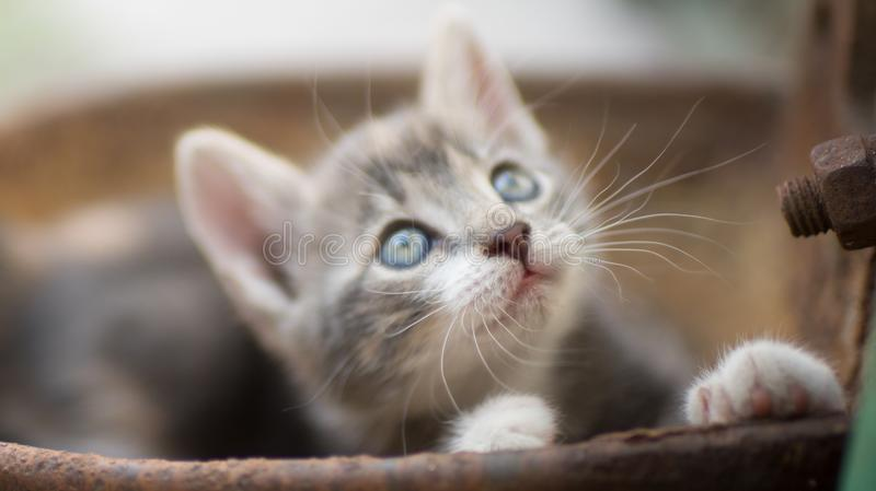 Portrait of a cute little kitty outdoors, domestic lovely cat, charming playfull baby animal, cat plays in a rusty bowl.  royalty free stock image