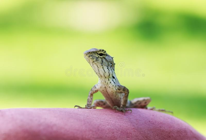portrait of a cute little lizard sits and basks in the stone waiting for insects royalty free stock photo