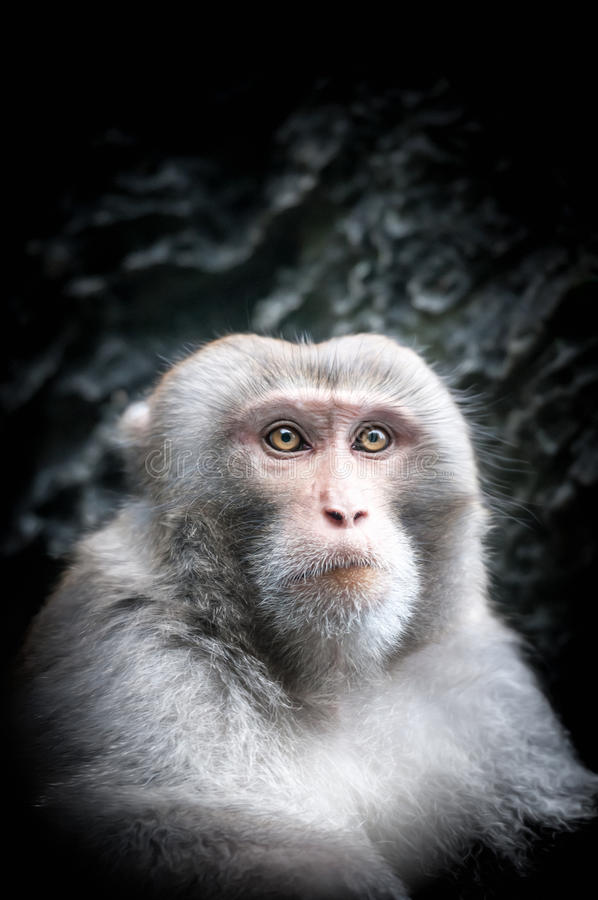 Portrait of cute little monkey with serious face. Cute little monkey with gray fur and smart look close-up. Portrait of animal with serious face in black stock images