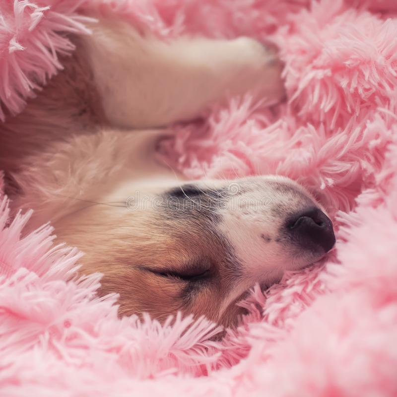 Portrait of cute little puppy redhead Corgi dog lying in pink fluffy blanket sticking out his face and paws and sleeping. Portrait of  little puppy redhead Corgi stock photography