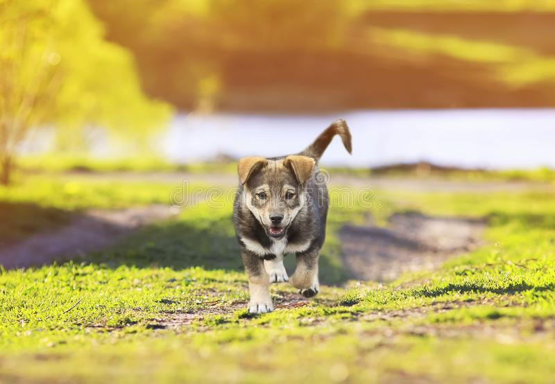 portrait of a cute little puppy walking on a footpath in the green Sunny meadows stock photography