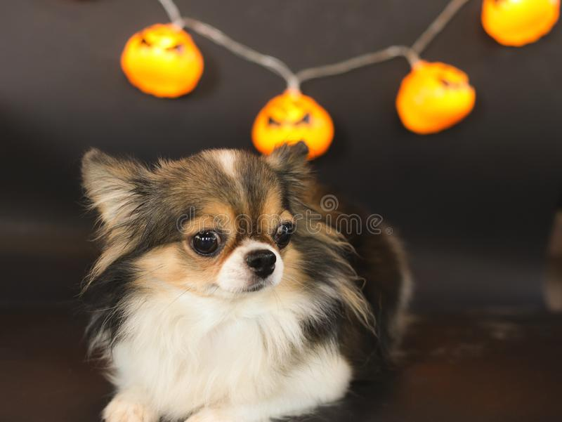 Portrait of  cute long hair black brown and white color Chihuahua dog with Halloween pumpkin electric lantern. On black background for Halloween party stock photo