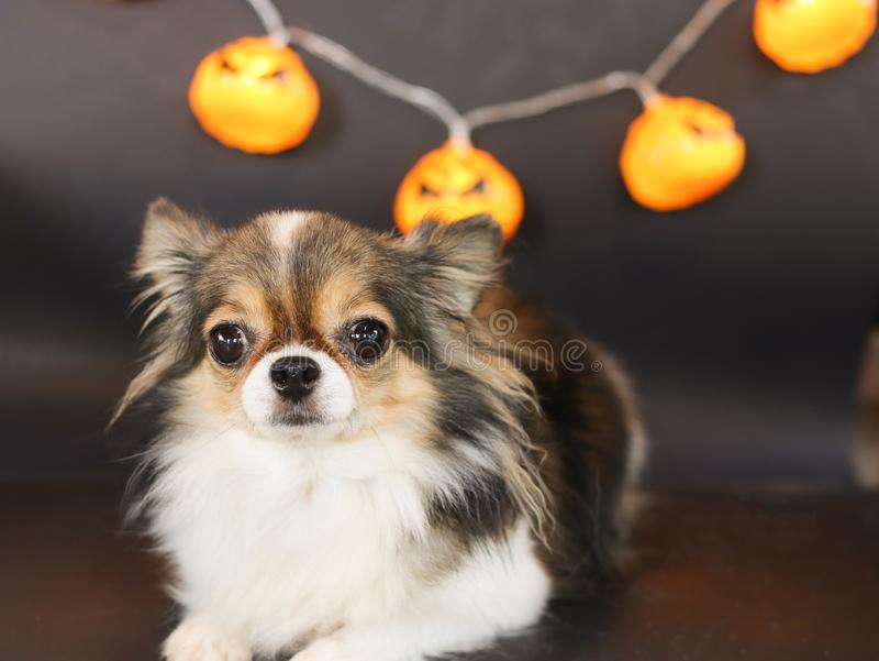 Portrait of  cute long hair black brown and white color Chihuahua dog with Halloween pumpkin electric lantern. On black background for Halloween party stock photography