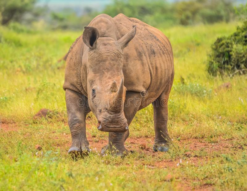 Portrait of cute male bull white Rhino or Rhinoceros in a group. In greater kruger national park in South Africa stock photo