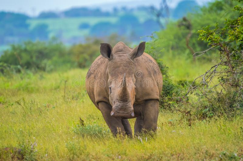 Portrait of cute male bull white Rhino or Rhinoceros in a group. In greater kruger national park in South Africa royalty free stock images
