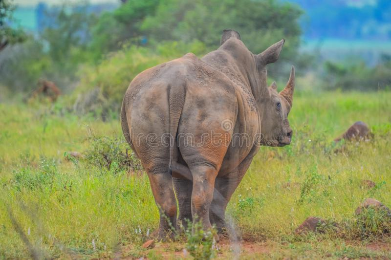 Portrait of cute male bull white Rhino or Rhinoceros in a group. In greater kruger national park in South Africa royalty free stock photos
