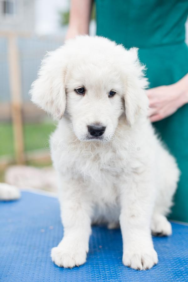 Portrait of a cute maremmano sheepdog puppy sitting on the table outside in summer. Cute white maremma puppy.  royalty free stock image