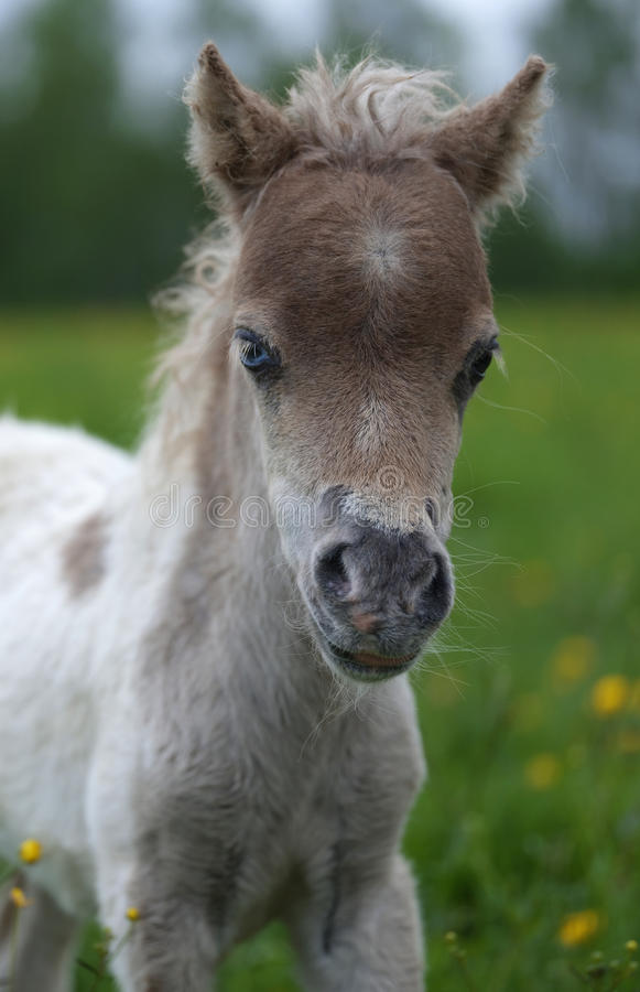 Portrait of a cute mini-horse foal stock photo