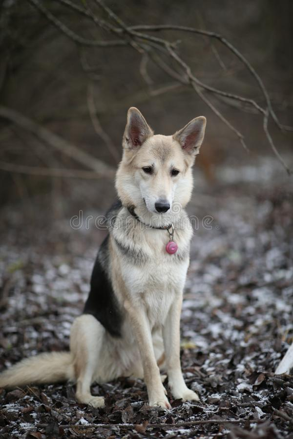 Portrait of cute mixed breed husky dog sitting on winter meadow stock image