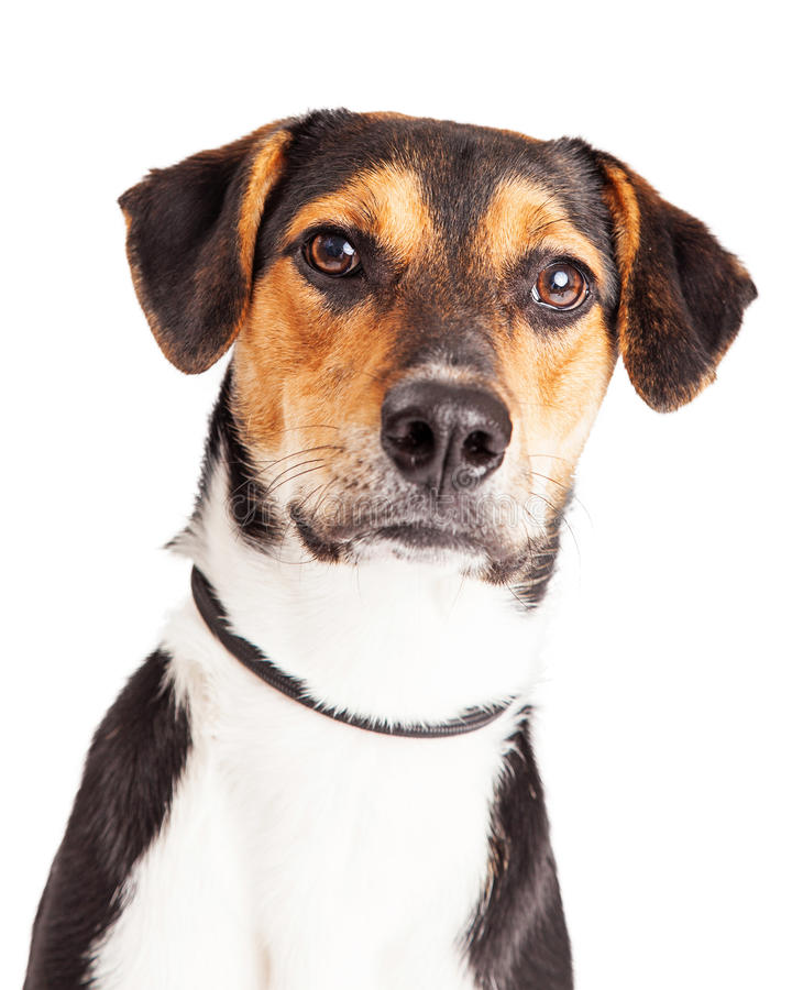 Portrait of Cute Mixed Hound Breed Dog. Closeup image of a cute young mixed hound breed dog stock photography
