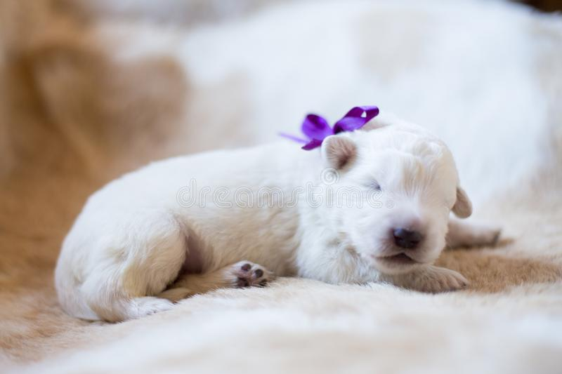 Portrait of cute one week old maremma puppy sleeping on the cow& x27;s fur. Sweet white pup looks like a bear. Portrait of cute one week old maremmano abruzzese stock photos