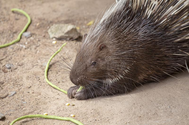 Portrait of a cute porcupine, close up royalty free stock photo