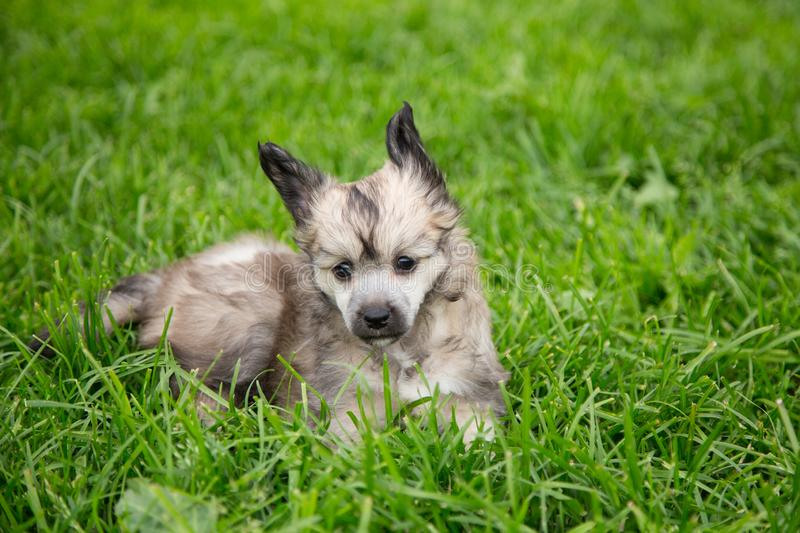 Portrait of cute powder puff puppy breed chinese crested dog lying in the green grass on summer day. Profile Portrait of cute powder puff puppy breed chinese royalty free stock photos