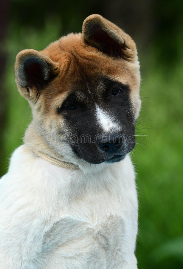 Portrait of a cute puppy American akita stock images