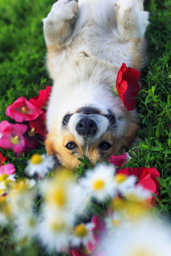 Portrait of a cute puppy Corgi dog lying in the lush grass among the beautiful flowers and smiling pretty on a warm summer day. Cute puppy Corgi dog lying in the royalty free stock photography