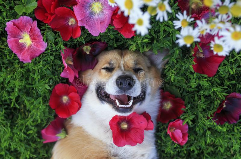 Cute puppy Corgi dog lying in the lush grass among the beautiful flowers and smiling pretty on a warm summer day. Portrait of a cute puppy Corgi dog lying in the royalty free stock photography