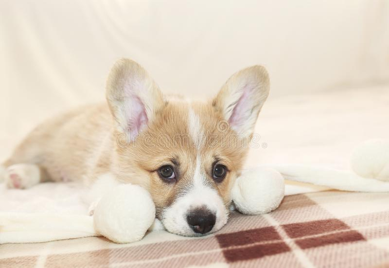 Portrait of cute puppy Corgi lying on the bed and looking sadly forward stock photo