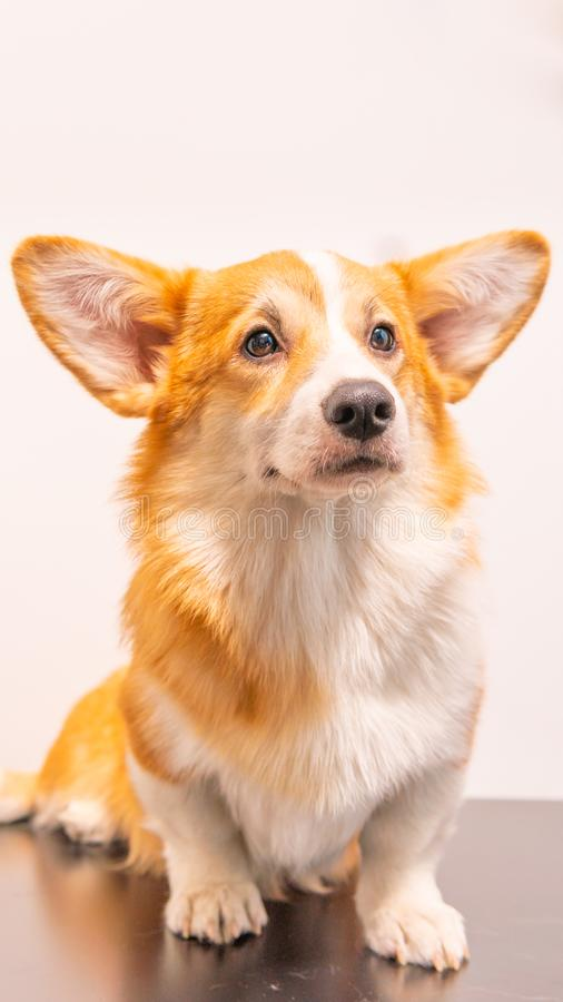 Portrait of a Cute Puppy Corgi Pembroke on a white background. Happy Corgi dog. Close-up stock photo