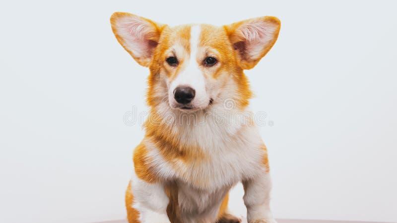 Portrait of a Cute Puppy Corgi Pembroke on a white background. Happy Corgi dog. Close-up royalty free stock photos