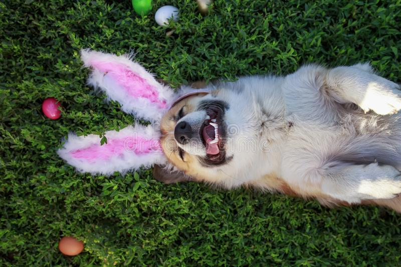 Portrait of a puppy dog Corgi lying in the green grass in the pink ears surrounded by colorful Easter eggs. Portrait of a cute puppy dog Corgi lying in the green royalty free stock images