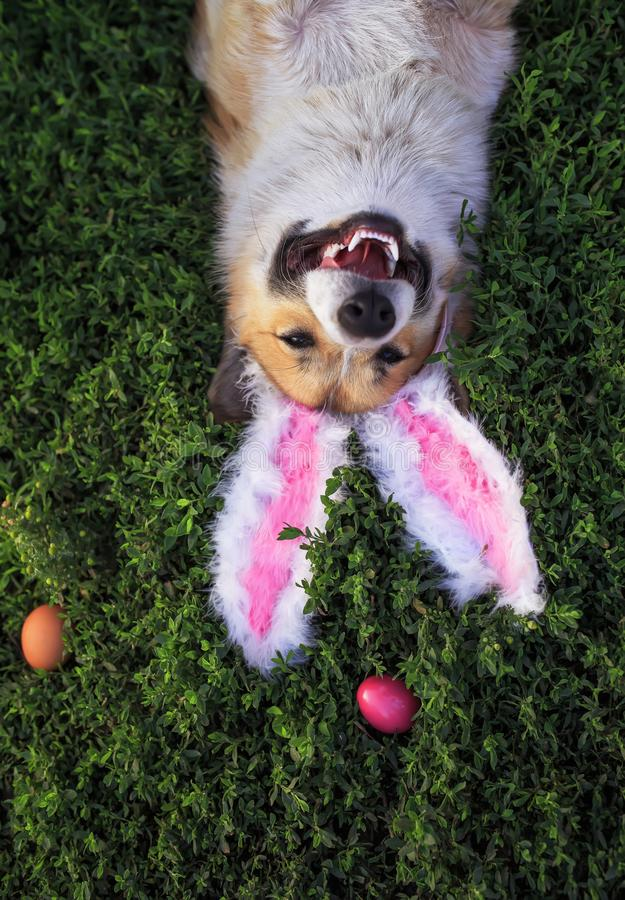 Portrait of a cute puppy dog Corgi lying in the green grass in the pink ears surrounded by colorful Easter eggs. Cute puppy dog Corgi lying in the green grass in royalty free stock photography