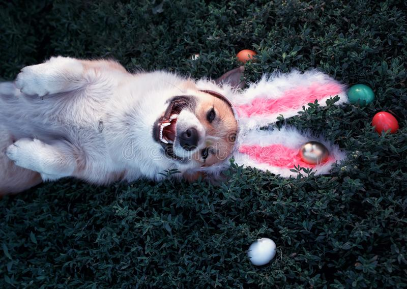 Portrait of a cute puppy dog Corgi lying in the green grass in the pink ears surrounded by colorful Easter eggs and pretty smiles. Portrait of a  puppy dog Corgi royalty free stock photography