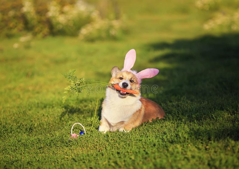 Portrait of cute puppy dog red Corgi lying on the green grass in the ears of Easter Bunny and nibbles a carrot on a Sunny spring. Cute puppy dog red Corgi lying stock photo